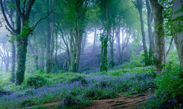 Magical light shining the green wood ed area with bluebell flowers.