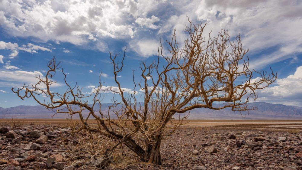 Death Valley Tree